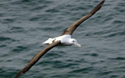 L'albatro
